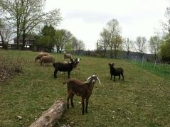 The Herd sans Smudge